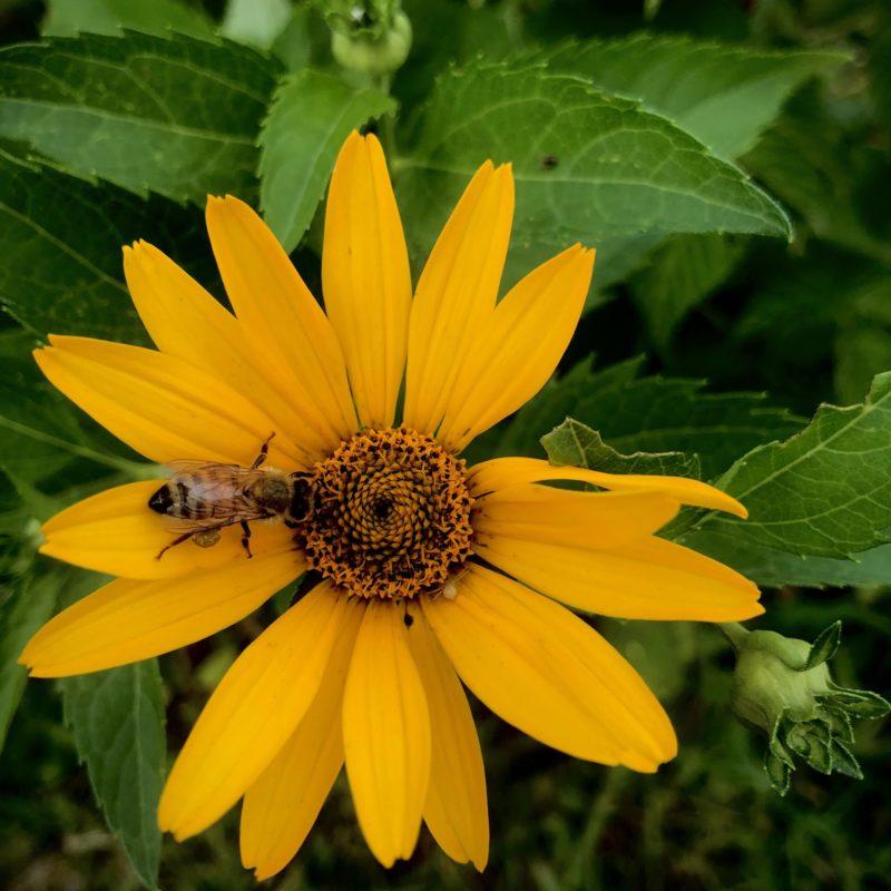 honey bee on black-eyed susan flower near Little Wren Farm