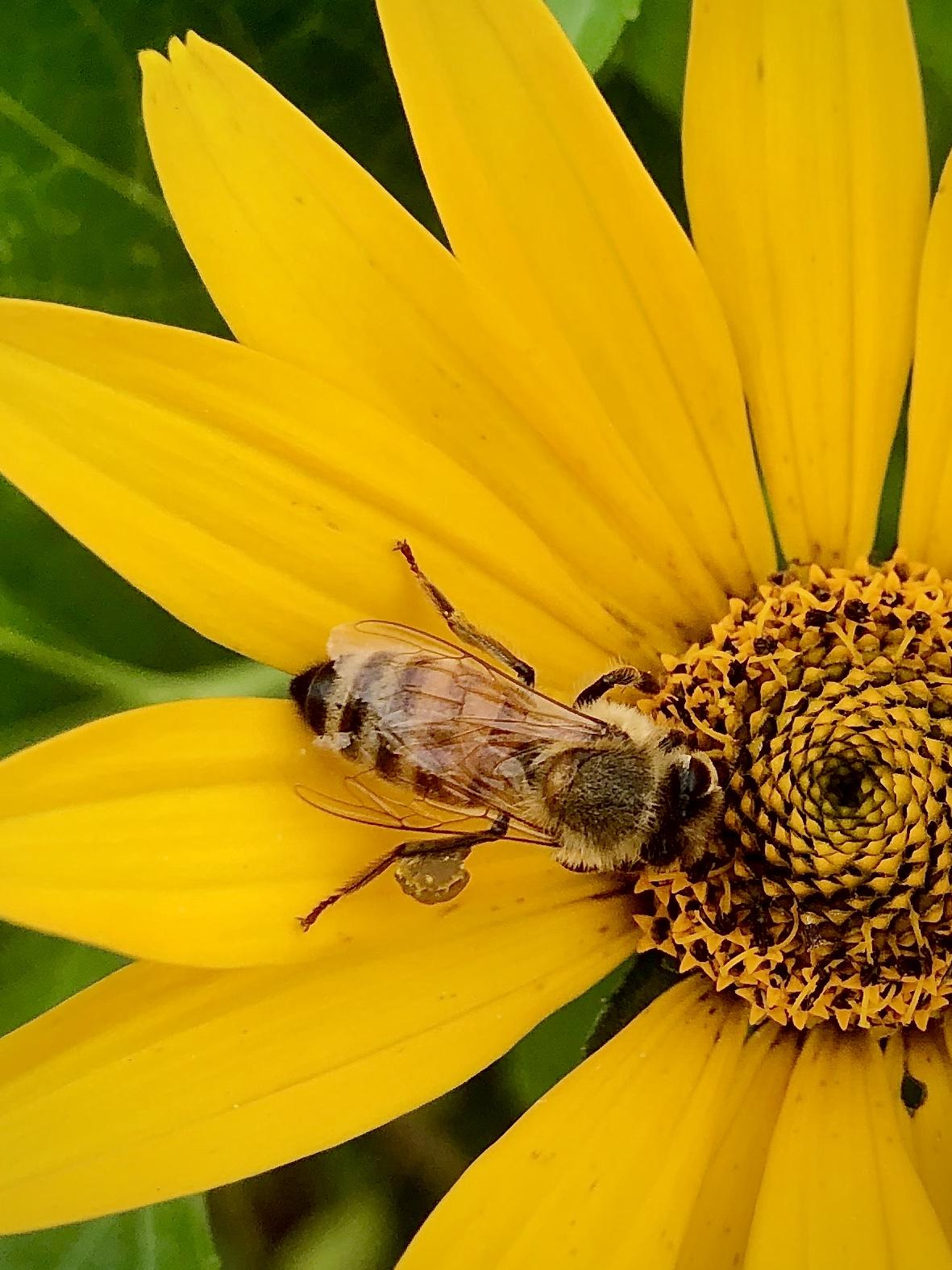 honey bee on flower at Little Wren Farm