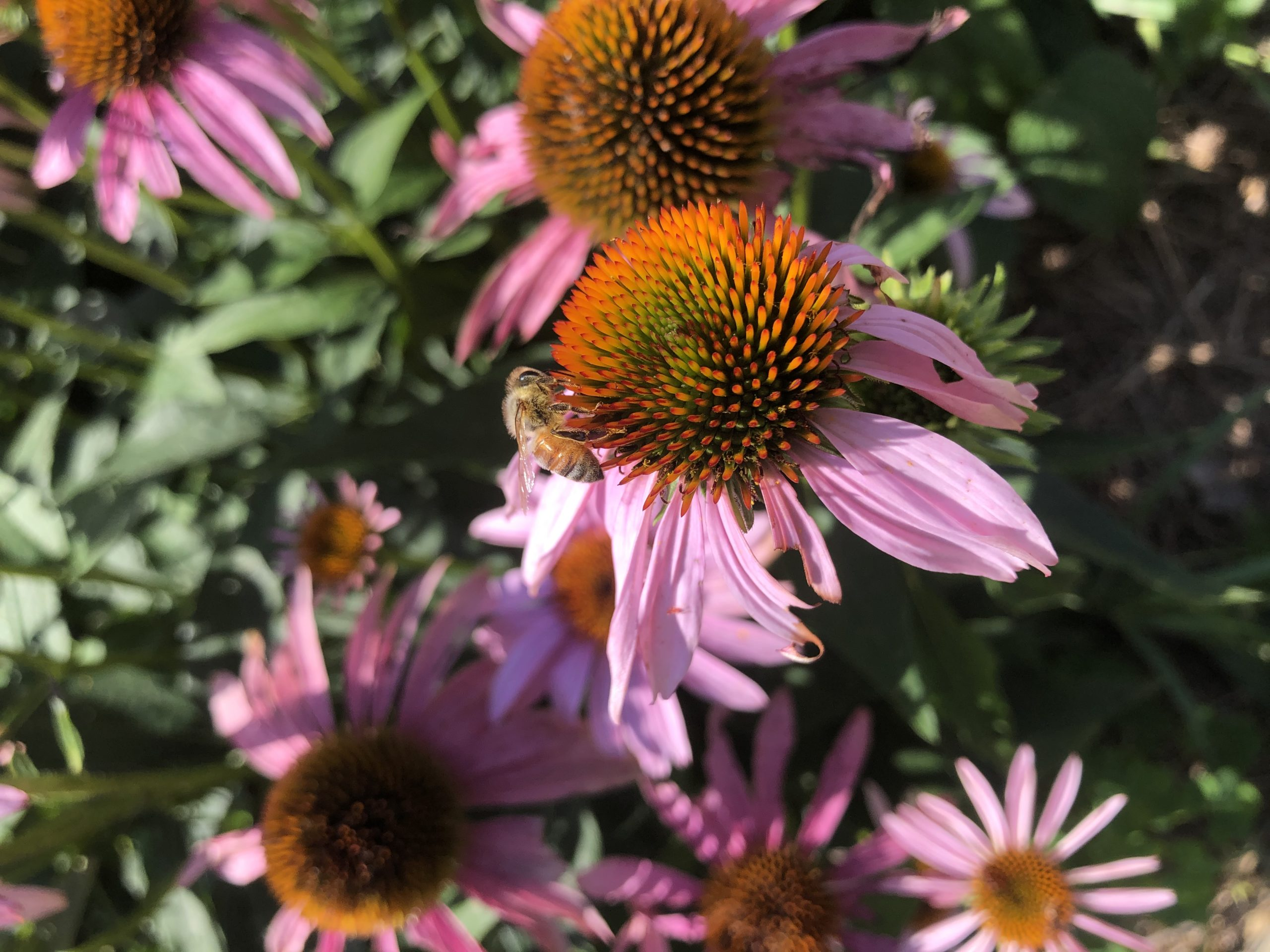 Honey bee on echinacea flower