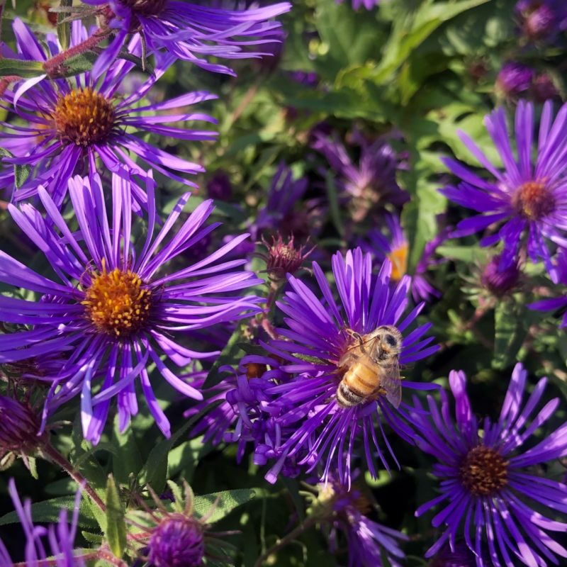 bee on aster at Little Wren Farm