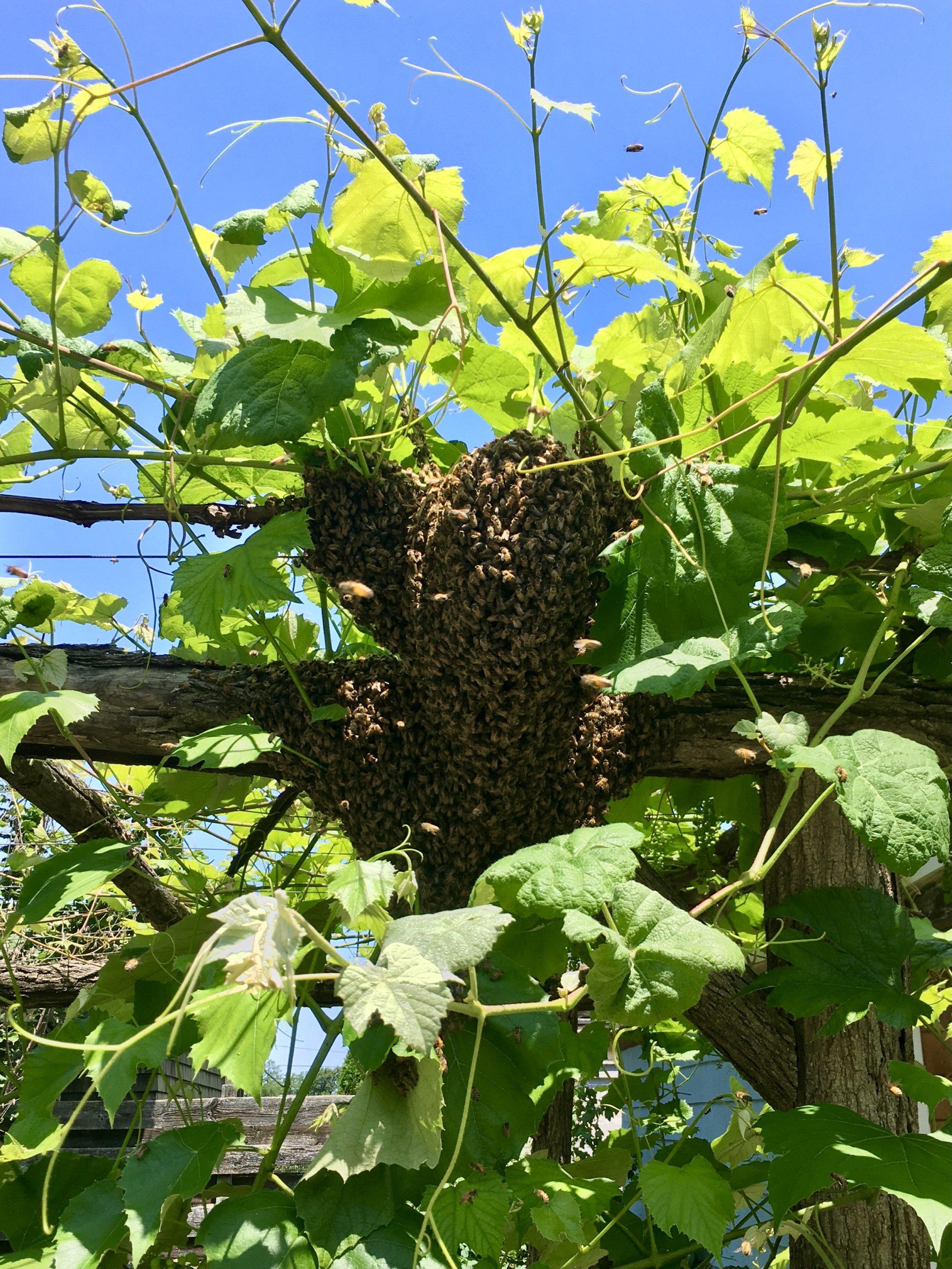 Swarm at Little Wren Farm
