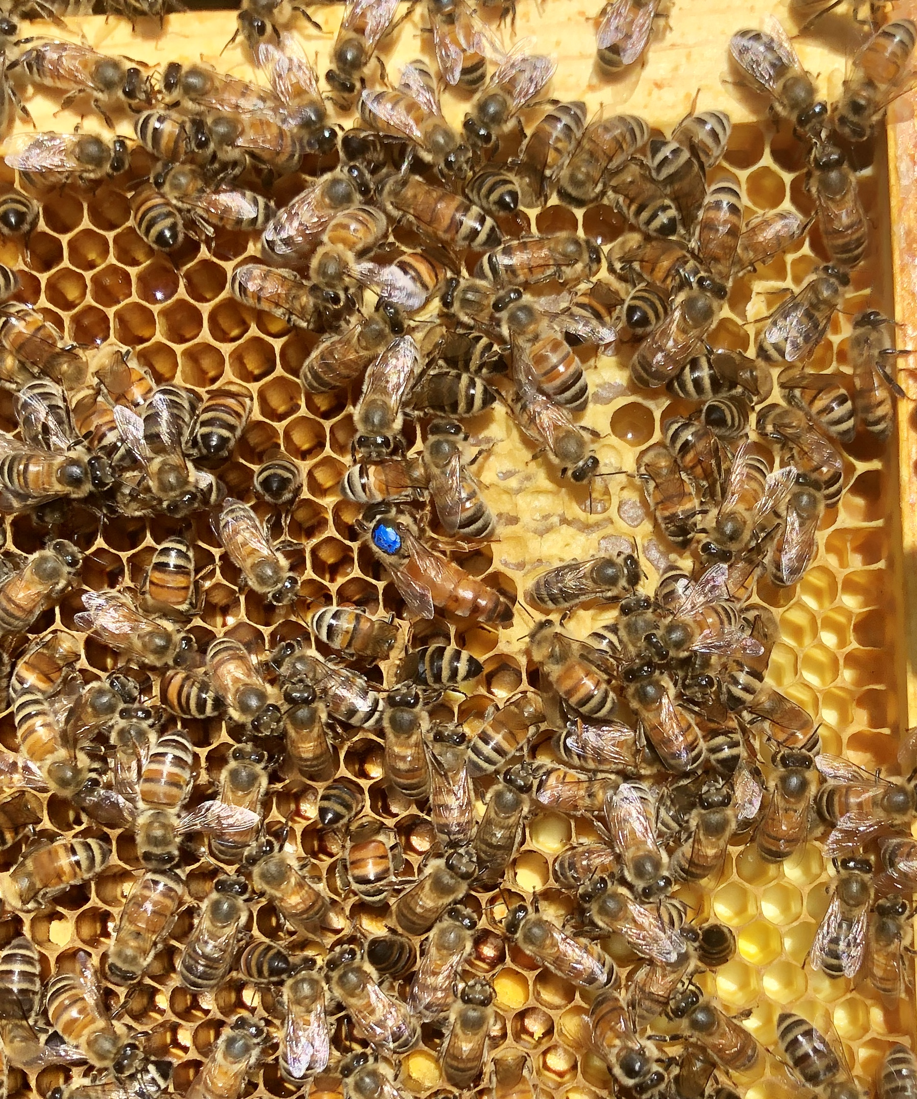 Queen and Worker Bees on Frame