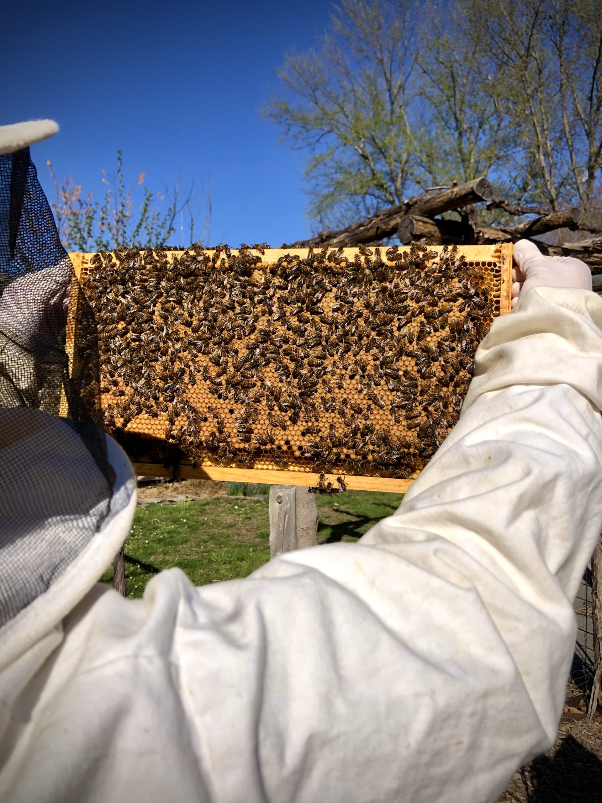 Beekeeper and frame of honey bees at Little Wren Farm